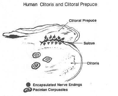 Clitoris exact location